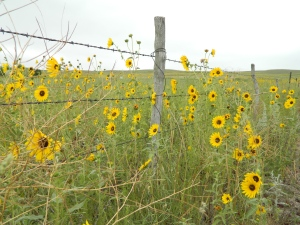 Sandhill Sunflowers